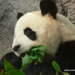 Čína - Macao – ostrov Coloane Park Seac Pai Van s pandy