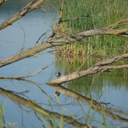 Maďarsko - jezero Kis-Balaton je přírodním rájem (bez pláží)