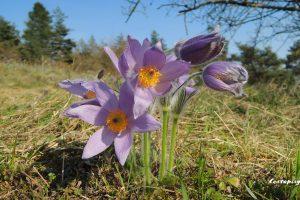 Koniklece Brno – přírodní rezervace Kamenný vrch