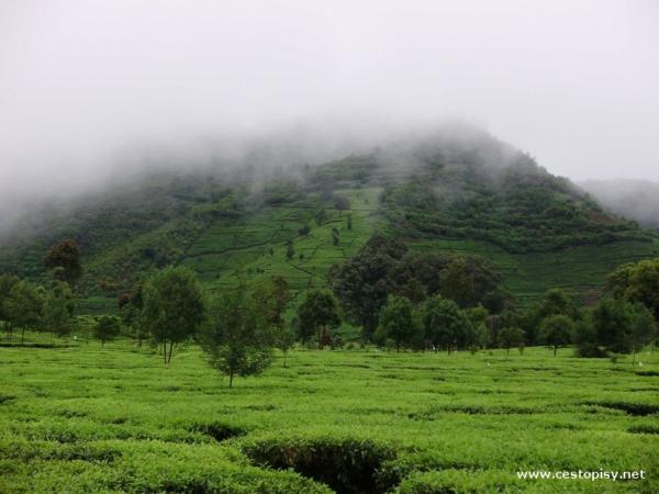 Čajová plantáž Java